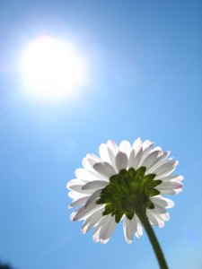 daisy-in-the-sun-1397229