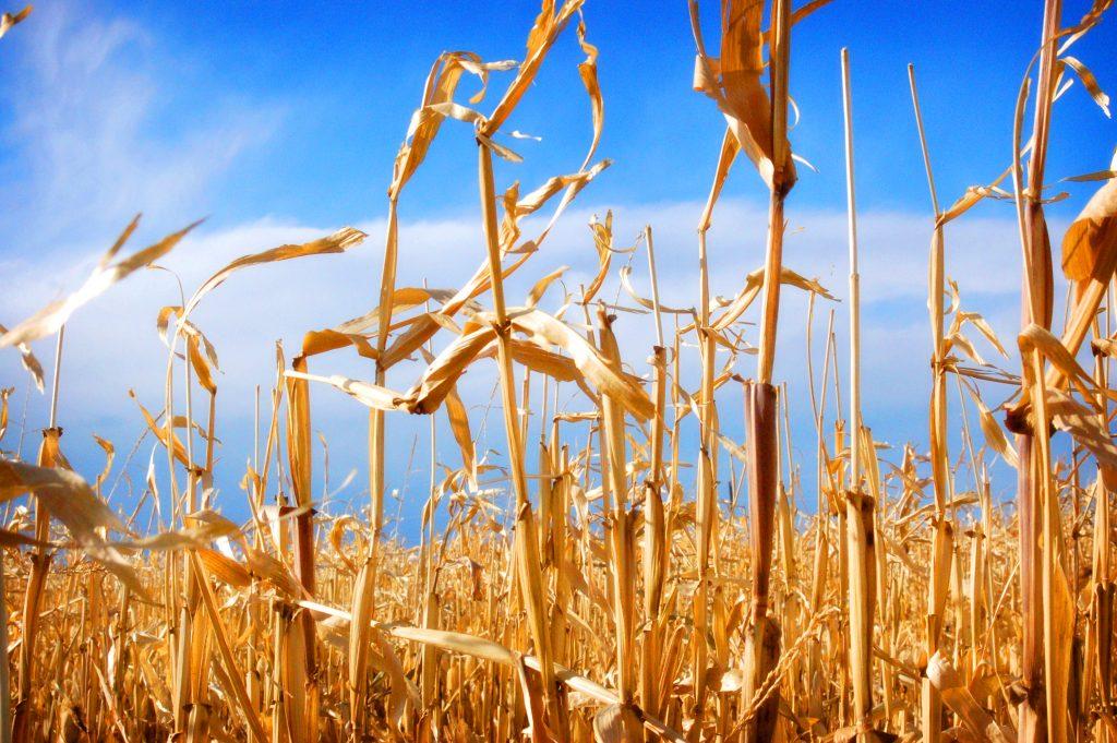 corn-fields-1-1248324